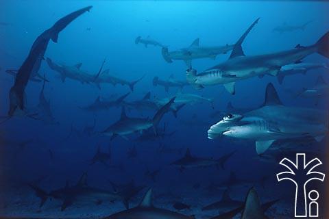 Да, акула-молот - беспощадная хищница.