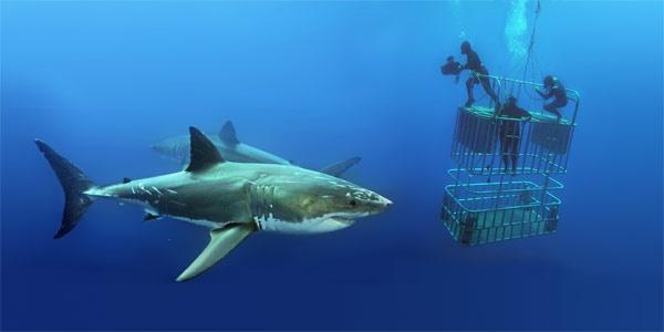 Картинки по запросу нырять в клетках и наблюдать за акулами в максимальном приближении